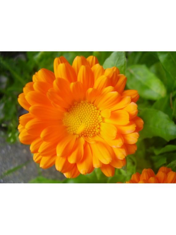 Calêndula / Maravilhas - flores secas