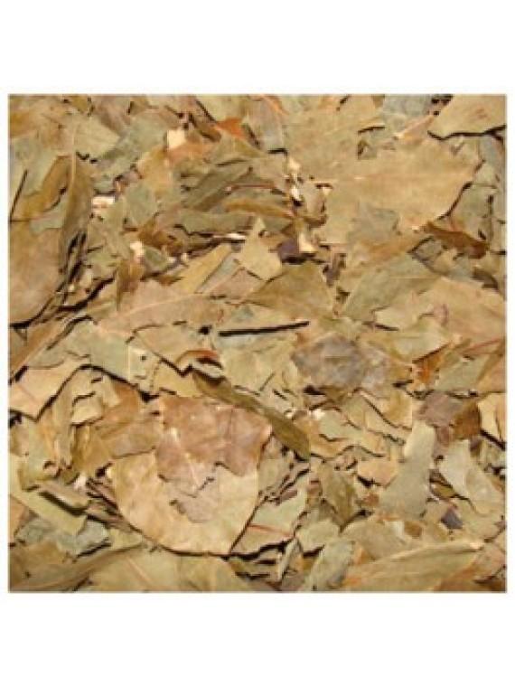 Abacateiro - folhas