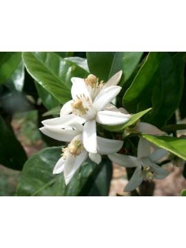 Laranjeira - flor