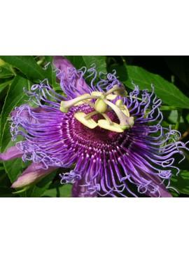 Passiflora / Maracujá - planta